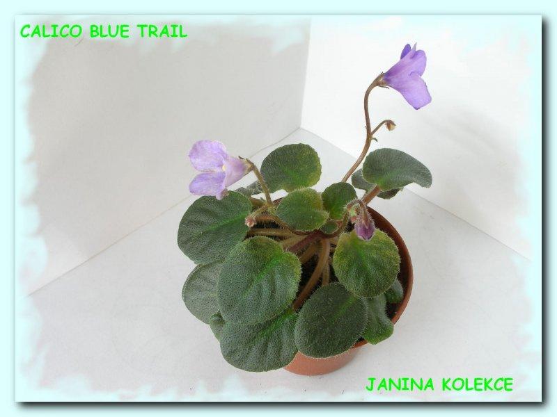 Calico Blue Trail (L. Ray) Světle modré zvonky. Pestrý růžový, krémový a zelený list. Polominiaturní trailer (DAVS 997, TX Hyb)