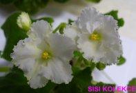 Candlelit Delight (Lyon/Sorano) Jednoduché bílé načechrané macešky/žluté oko a pruhy. Okraje květů jsou půvabně kudrnaté. Světle zelený, prošívaný list. Standard