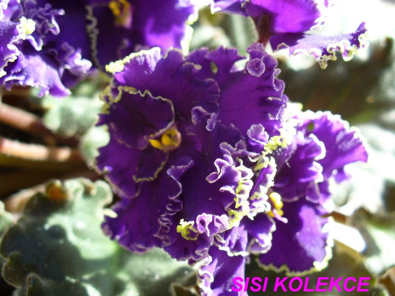 Emerald Lace (J. Swift) Velké plné purpurové květy se zeleným kudrnatým okrajem. Středně zelený list. Standard (TX Hyb)