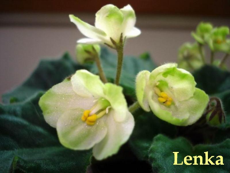 Emerald Love (E. Kolb) Poloplné krémově bílé květy se širokým zeleným okrajem. Tmavě zelený, zvlněný list s červeným rubem. Standard