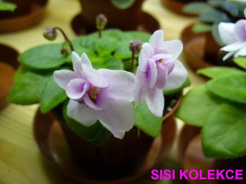 Katia (S. Sorano) Jednoduché-poloplné bílé třpitivé macešky/proměnlivé růžové oko. Středně zelený list. Polominiatura