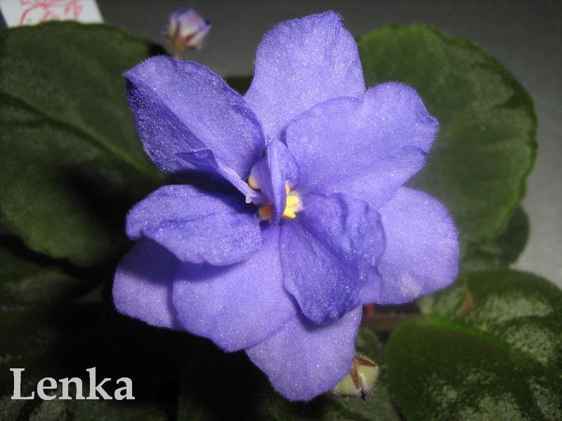 King's Trail (C. Sledge) Plné světle modré květy s proměnlivými růžově-bílými cípy. List prošívaný, zoubkovaný. Velký standard (DAVS 1330)