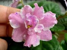 Kostina Fantazia (K. Morev) Jednoduché až poloplné květy, bílo-růžové s modrým fantazijním žíháním a bílým krajem. Klasický středně zelený list. Standard