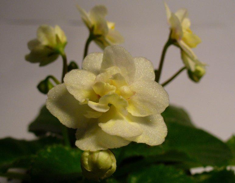 Lemon Drop (8245) 07/28/1995 (S. Sorano) Plné žluté a bílé macešky. Středně zelený, plochý, srdčitý, špičatý, zoubkovaný list. Polominiatura