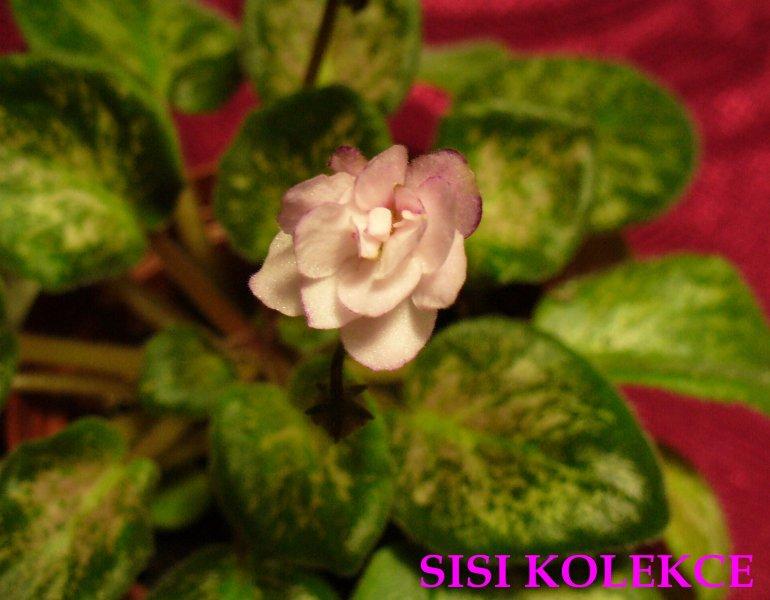 Lilian Sparkler (E. Champion) Poloplné světle růžové květy s tmavším fantazijním okrajem. Mosaiková pestrostré tmavě zelené a růžové, ploché listy. Standard