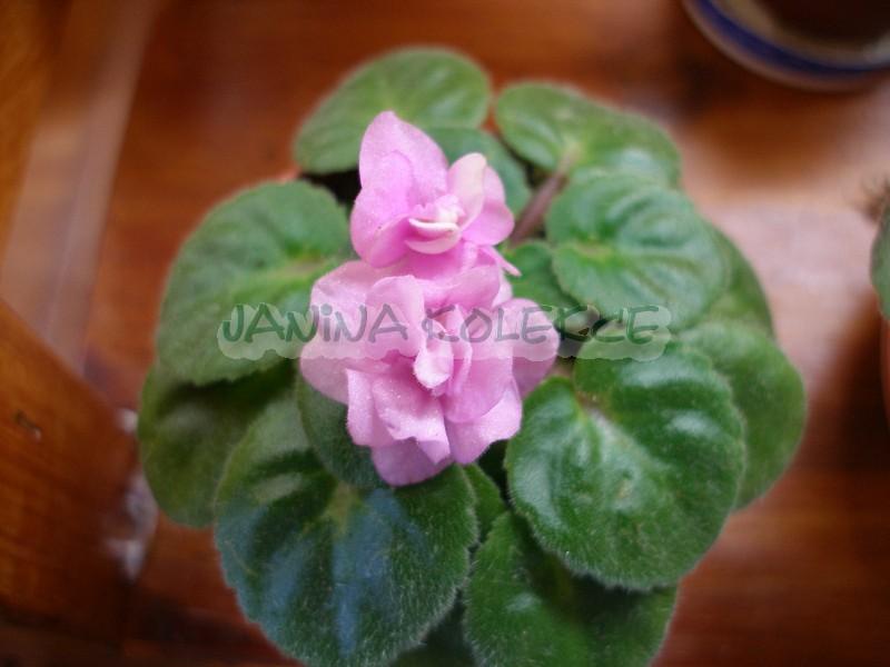 Little Miss Muffet (Storytella) Plné tmavě růžové květy. Girl listy. Miniatura