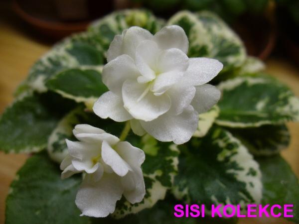 Little White Clouds (H. Pittman) Plné bílé květy. Pestré listy. Miniatura (DAVS 1281, TX Hyb)