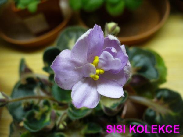 Loco Jo(D. Baker) Plné levandulové květy s tmavě fialovými fantasy čárkami. Dvou-tónové olivově zelené girl listy.