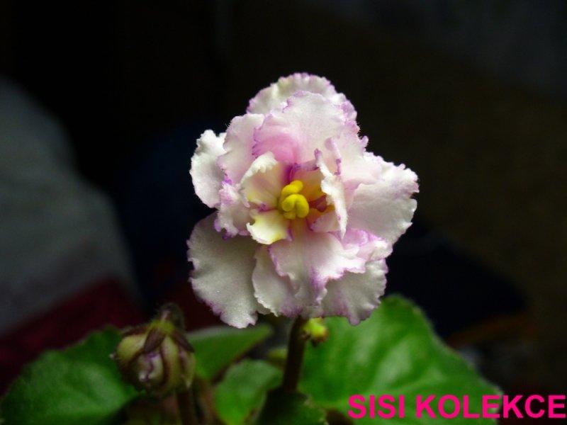 Lovey Dove (J. Gehr) Poloplné bílé macešky/žluté paprsky, tenký růžový zvlněný okraj. Pestré středně zelené a bílé listy. Polominiatura