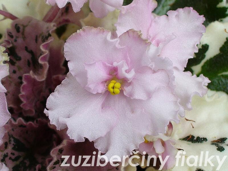 Lela Marie (5668) 02/07/1984 (I. Lineberg) Plné světle růžové kudrnaté květy. List pestrý, spičatý, zvlněný. Standard (DAVS 696)