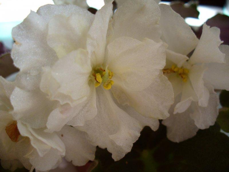 Majesty (N. Blansit) Poloplné velké bílé načechrané květy/žluté a růžové stíny a pruhy. Středně zelené, ploché listy. Standard