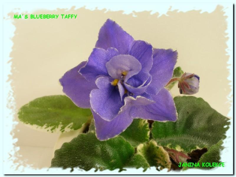 Ma's Blueberry Taffy (9452) 07/30/2005 (O. Robinson) Plné modré hvězdy s bílo-zeleným okrajem. Pestré středně zelené a bílé, ploché, špičaté listy. Standard