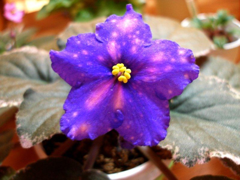 Ma's Cosmic Wonder (9797) 09/14/2007 (O. Robinson) Poloplné tmavě modré hvězdy/růžová fantasy. Pestrý tmavě zelený, bílý a růžový, špičatý, zoubkovaný list/červený rub. Standard