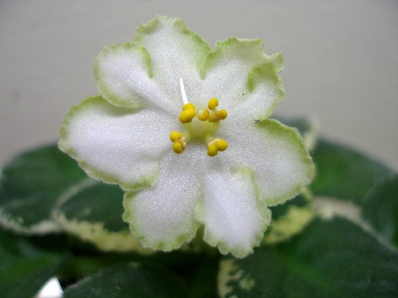 Ma's Lily Pad (9384) 10/15/2004 (O. Robinson) Jednoduché-poloplné bílé hvězdy/široký zelený okraj. Pestrý světle-středně zelený a bílý, oválný, prošívaný list. Standard