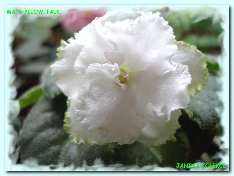 Ma's Pillow Talk (9133) 05/31/2002 (O. Robinson) Plné bílé načechrané macešky. Pestrý světle-středně zelený a krémový, zubatý list. Standard