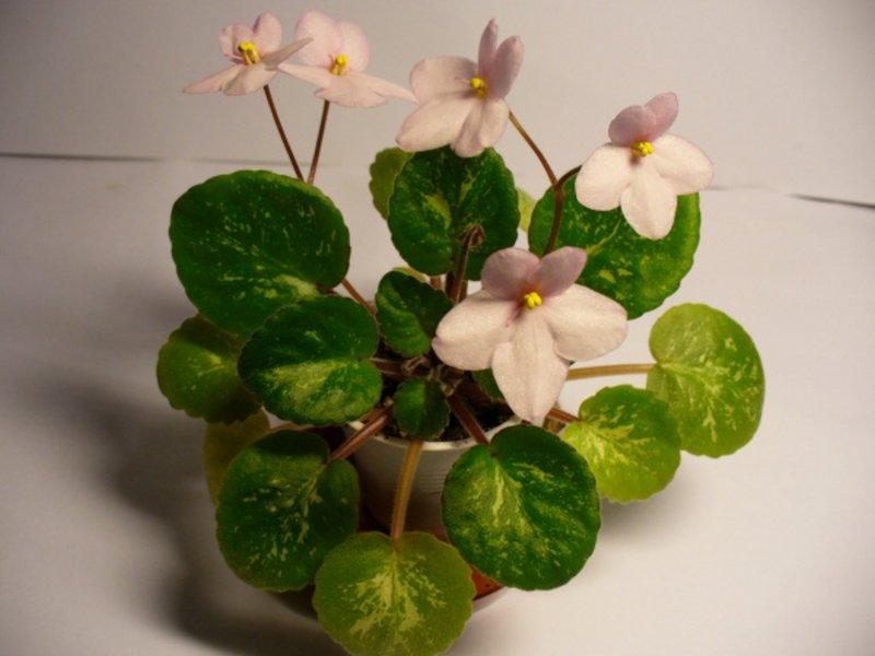 Midget Lilian (E. Champion) Jednoduché růžové květy. Mozaikově pestré, ploché listy. Miniatura