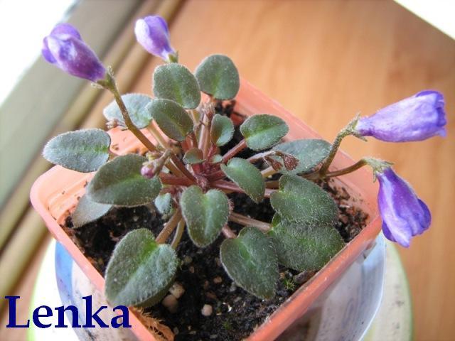 Minibomb ()  Levandulově-modrý zvonek; list tmavě zelený, plochý. Mikrominiatura
