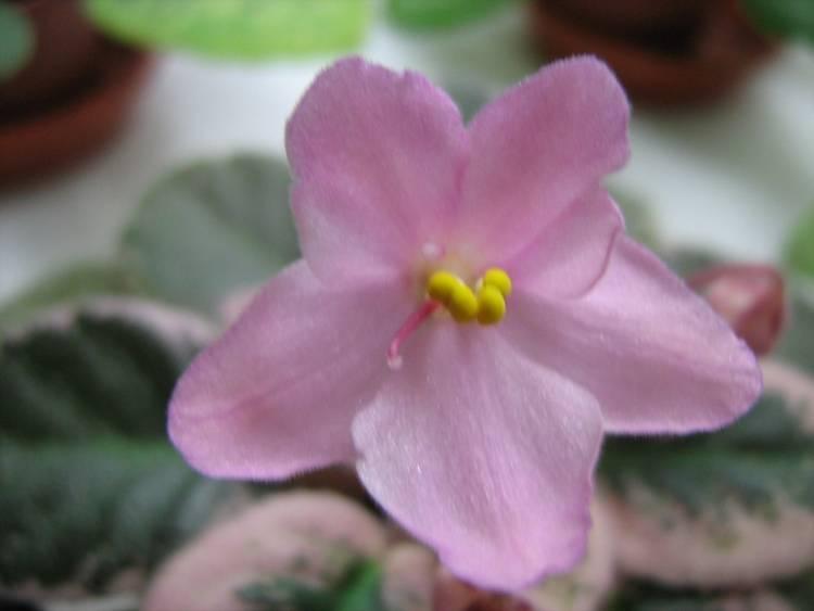 Mac's Blowing Bubble (McDonald)  Полумахровые розовые цветы, по форме напоминающие цветы-«осы» с более темными верхними лепестками. Удлиненная, темно-зеленая, украшенная розовым и кремовым листва. Обильное и красивое цветение. Полуминиатюрная фиалка