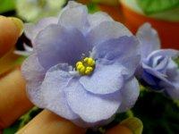 Ma's Country Boy.  Velké plné něžně modré květy na středně zelenými listy, TL pestrolistost.