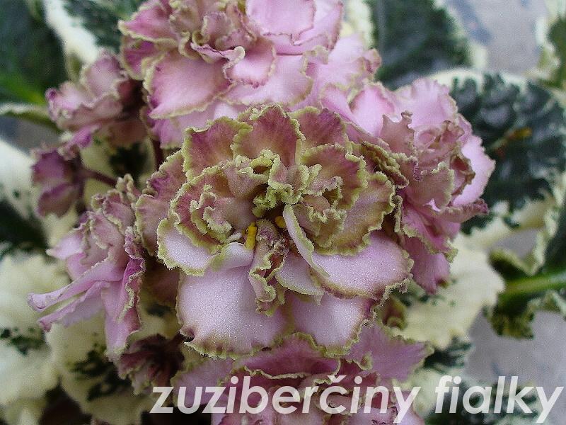 Ma's Corsage (9041) 05/31/2001 (O. Robinson) Plné růžové macešky/světle zelený zvlněný okraj. Pestrý středně zelený a bílý, prošívaný, zvlněný, zoubkovaný list. Standard