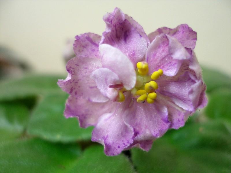 Ma's Fruit Smoothie (9456) 07/30/2005 (O. Robinson) Plné levandulově-růžové hvězdy s purpurovou fantasy. Pestrý středně zelený a bílý, prošívaný, zvlněný, zoubkovaný list. Standard