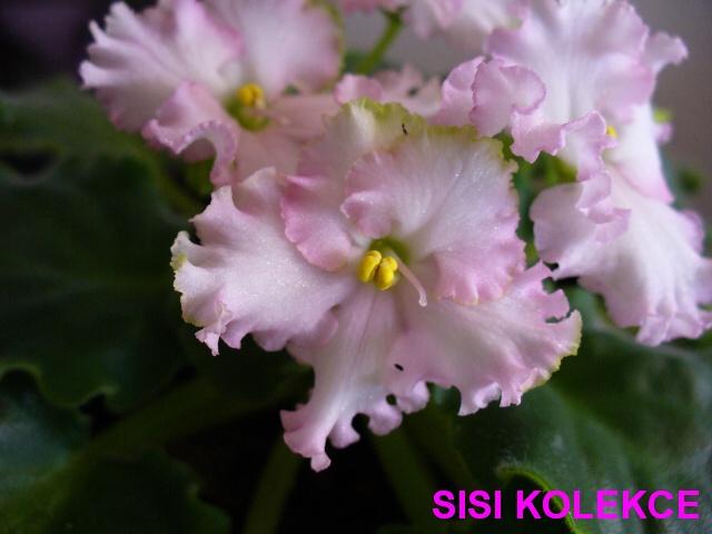 Optimara EverHarmony (9124) 05/29/2002 (R. Holtkamp) Jednoduché bílé až bledě růžové macešky/proměnlivě tmavší oko a pruhy; světle zelený okraj. Středně zelený, plochý, lesklý, chlupatý, zvlněný, vroubkatý list. Standard