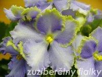 Optimara EverGrace (9123) 05/29/2002 (R. Holtkamp) Jednoduché bílé zvlněné macešky/proměnlivé středně modré oko a pásy; světle zelený okraj. Středně zelený, srdčitý, lesklý, chlupatý, zvlněný, vroubkatý  list. Velký standard