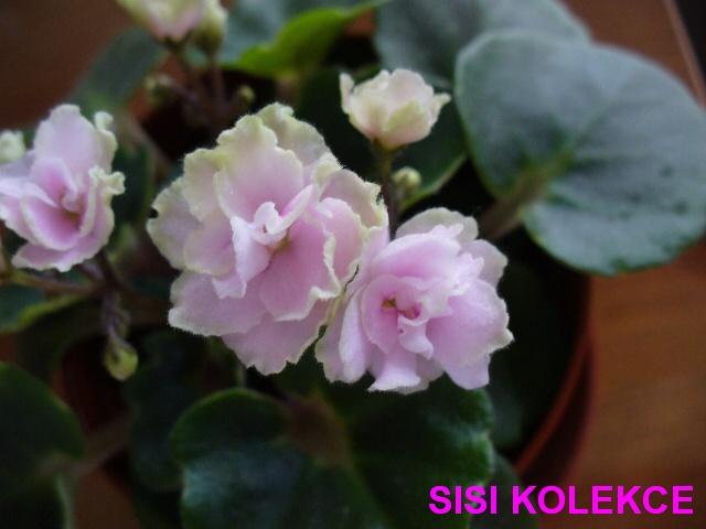 """Petite Blarney (H. Pittman) Plné růžové květy se zeleným okrajem. Tmavě zelený """"girl"""" list. Miniatura (DAVS 1498, TX Hyb)"""