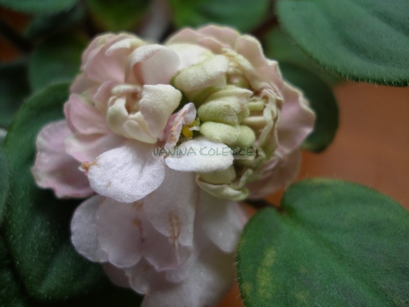 Pink Mint (S. Sorano) Plné světle růžové hvězdy/variabilní zelený odstín, zelené cípy. Středně zelený list. Polominiaturní  trailer
