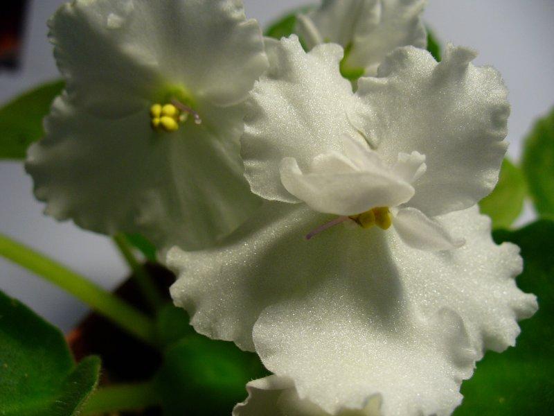 Pineapple Sherbet (I. Fredette) Plné bílé květy, ploché listy. Standard