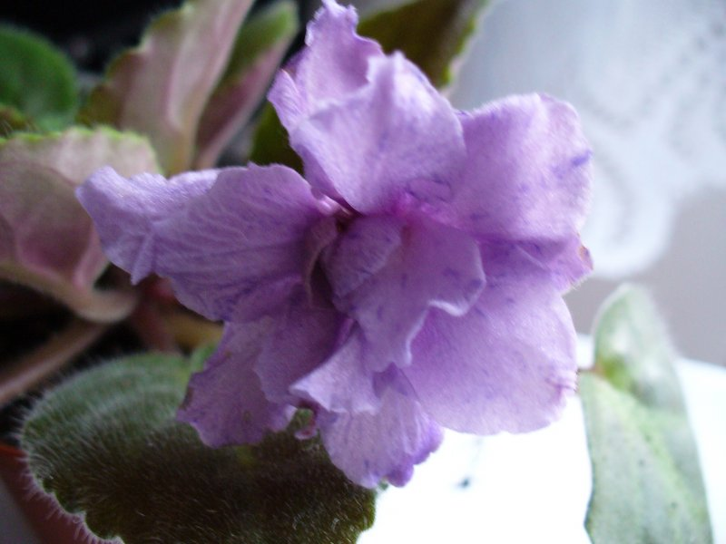 Prince Carnival (I. Fredette) Plné levandulové dvoutónové květy. Jasně zelené ploché listy. Standard