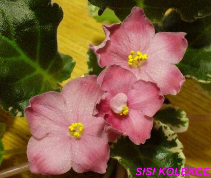 Purrfect Love (7324) 03/02/1990 (S. Sorano) Poloplné světle lila-růžové hvězdy s tmavými lila cípy. Pestrý tmavě zelený, zvlněný list. Velký standard