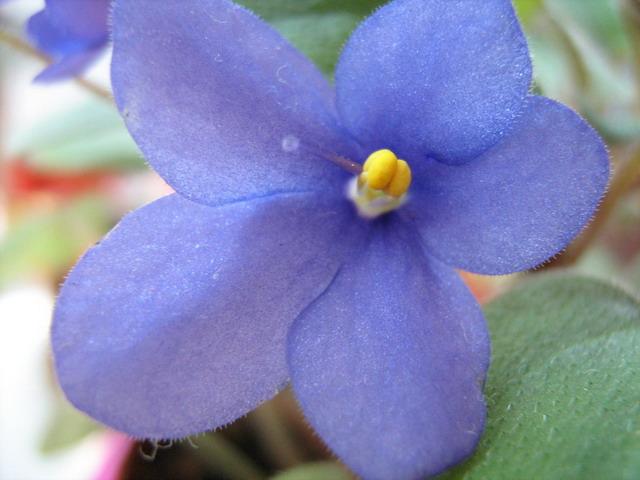 Pixie Blue (2598) 09/16/1974 (L. Lyon) Jednoduché purpurově-modré květy s tmavším středem. Oválné ploché listy. Miniaturní trailer