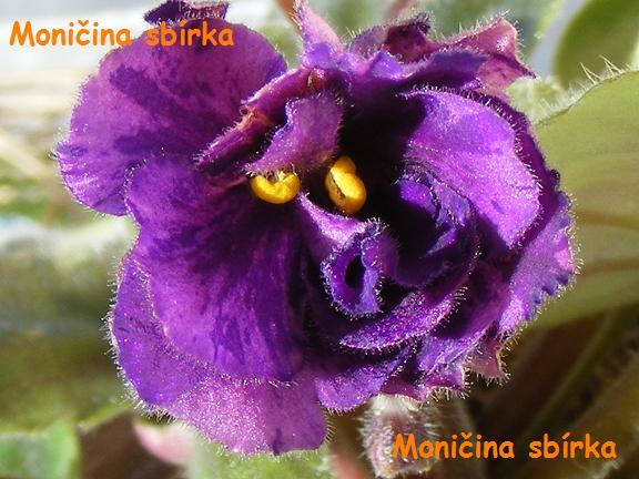 Purple Passion (S. Sorano) Plné velké purpurové hvězdy s variabilními tmavě purpurovými a zelenými cípy. Středně zelený list. Standard