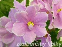 Pink Amiss (Eyerdom) Poloplné jasně růžové květy s bílými okraji. Světle zelená, hladká listy. Standard