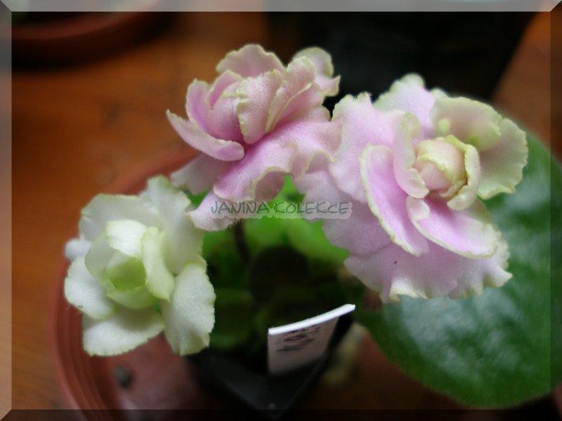 Sassy Sister (8553) 11/09/1996 (S. Sorano) Plné tmavě růžové macešky/zelený kudrnatý okraj. Středně zelené, hladké, zvlněné listy. Polominiatura