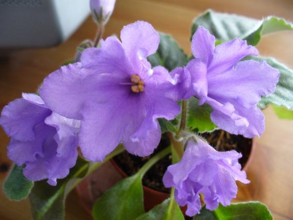 Senk's Big Bells (9849) 01/30/2008 (R. Follett/D. Senk) Jednoduché modré zvonky. Tmavě zelené oválný list typu longifolia. Malý standard