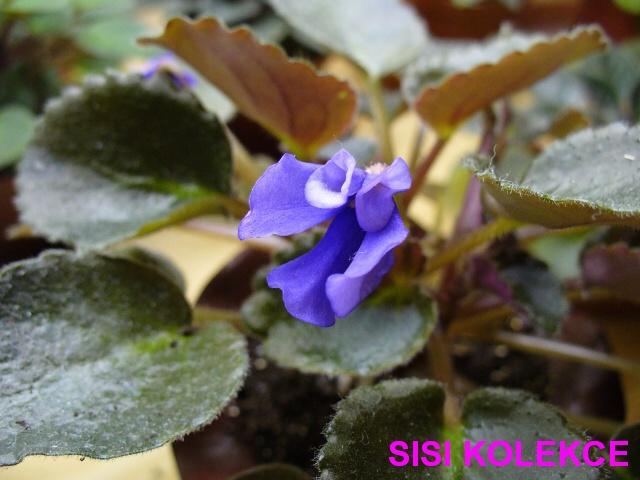 Senk's Blue Cascade (9850) 01/30/2008 (R. Follett/D. Senk) Jednoduché modré vosy. Pestrý tmavě zelený a růžový, lžičkovitý, srdčitý, chlupatý, zvlněný, zubatý list typu longifolia. Polominiaturní trailer