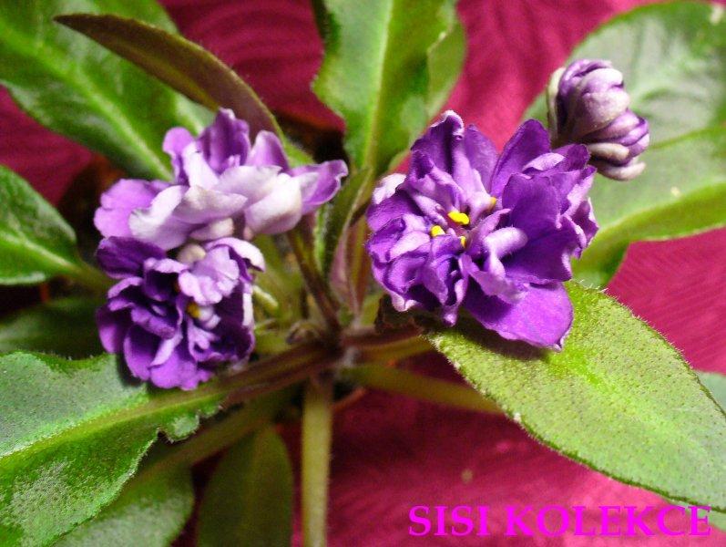 Senk's Just Misbehavin' (9860) 01/30/2008 (R. Follett/D. Senk) Poloplné modré nařasené macešky. Pestrý středně zelený a bílý, hladký, longifolia list. Polominiaturní trailer