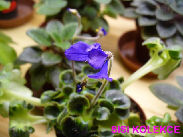 Senk's Say What? (9866) 01/30/2008 (R. Follett/D. Senk) Jednoduché fialové vosy. Pestrý středně zelený, vroubkovaný girl list. Semiminiaturní trailer