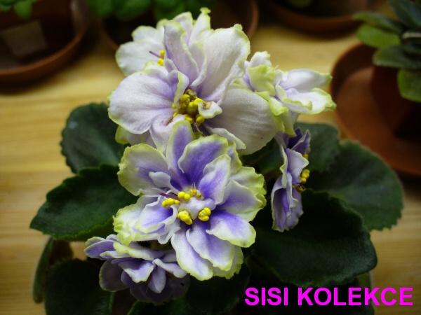 Sora Kalissa (9279) 08/18/2003 (B. Werness) Single-semidouble white frilled pansy/purple eye and overlay, green edge. Medium green. Semiminiature