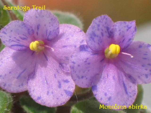 Saratoga Trail (6429) 12/02/1986 (T. Khoe) Jednoduché květy s purpurovým a modrým fantasy. Plochý list. Polominiaturní trailer