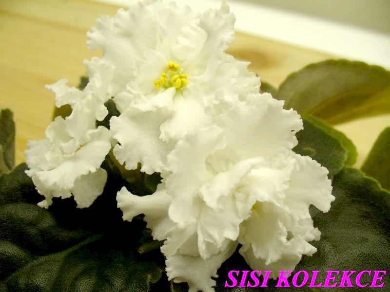 Tsarevna Lebed' (9629) 01/27/2006 (B. Makuni) Plné bílé načechrané květy. Středně zelené, zvlaněné listy. Standard