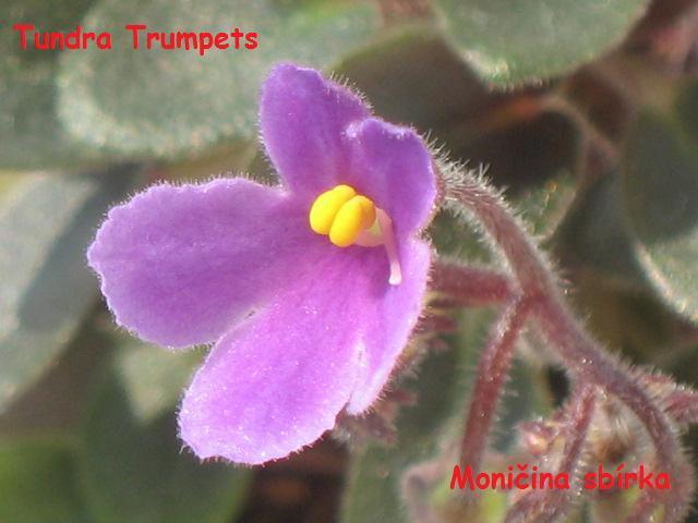 Tundra Bells (A. Murphy) Jednoduché orchidejové zvonky/modrá fantasy. Hladký, špičatý, malý list. Miniatura