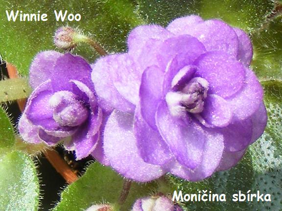 Winnie Woo (5211) 01/28/1983 (H. Pittman) Plné levandulové květy. Pestrý zelený, bílý a růžový list. Polominiatura (DAVS 762, TX Hyb)
