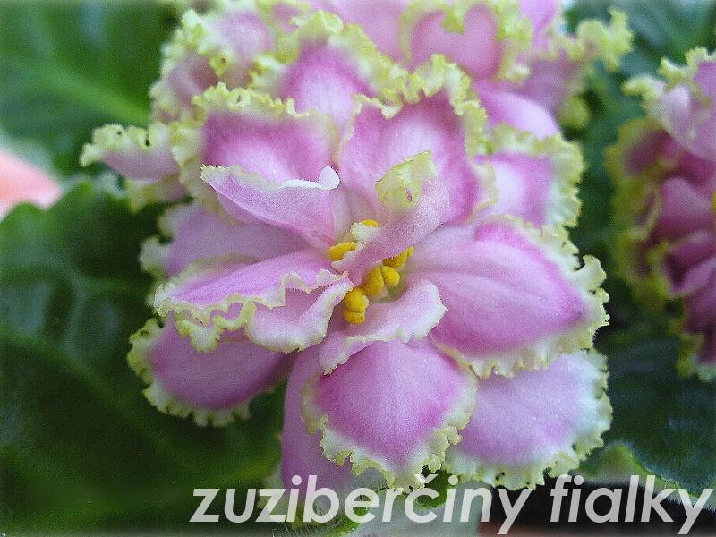 Zima Ulybaetsia (9636) 01/27/2006 (B. Makuni) Poloplné-plné růžové načechrané hvězdy/proměnlivý jahodový okraj; bílo-zelený lem. Středně zelený, oválný list. Standard